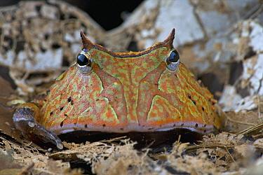 Amazon Horned Frog (Ceratophrys cornuta), Brownsberg Nature Park, Surinam  -  Piotr Naskrecki