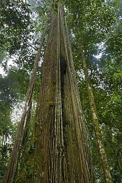 Looking up into rainforest canopy, Brownsberg Reserve, Surinam  -  Piotr Naskrecki