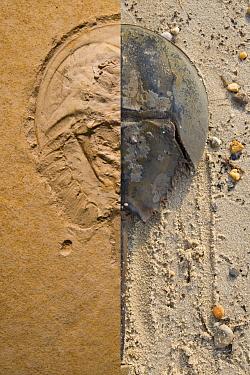 Horseshoe Crab (Limulus polyphemus) and extinct Horseshoe Crab (Mesolimulus walchi) fossil showing similarity in design, Slaughter Beach, Delaware, composite illustration  -  Piotr Naskrecki