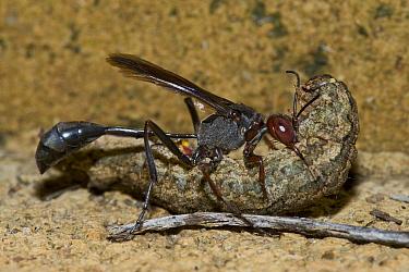 Sand Wasp (Sphecidae) female dragging paralyzed caterpillar to her borrow to feed her larvae, Modjadji Cycad Reserve, South Africa  -  Piotr Naskrecki