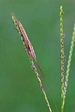 Katydid (Conocephalus sp) camouflaged on grass, Golden Gate Highlands National Park, South Africa  -  Piotr Naskrecki