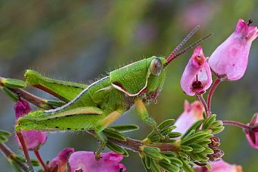 Grasshopper, newly discovered species, from fynbos habitat, Jonaskop, Western Cape, South Africa  -  Piotr Naskrecki