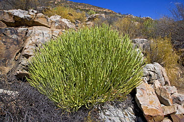 Dicot (Euphorbia sp) in fynbos habitat, Cederberg Wilderness Area, South Africa  -  Piotr Naskrecki
