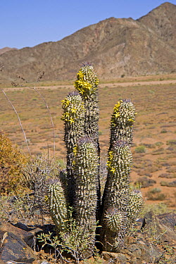 Alston's Hoodia (Hoodia alstonii), one of plants endemic to the succulent karoo biome, Richtersveld, South Africa  -  Piotr Naskrecki