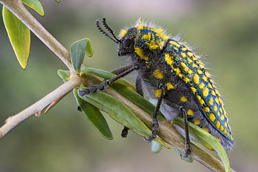 Jewel Beetle (Julodis sp) in succulent karoo habitat, Richtersveld, South Africa  -  Piotr Naskrecki