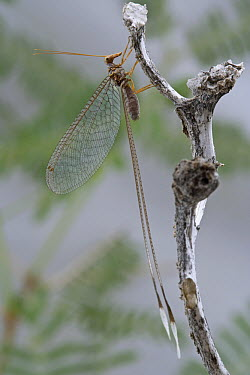 Ribbon-wing Lacewing (Nemia costalis), Richtersveld, Northern Cape, South Africa  -  Piotr Naskrecki