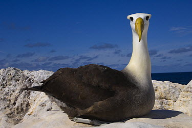 Waved Albatross (Phoebastria irrorata), Hood Island, Galapagos Islands, Ecuador  -  Pete Oxford