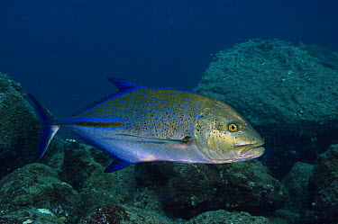 Bluefin Trevally (Caranx melampygus), Wolf Island, Galapagos Islands, Ecuador  -  Pete Oxford
