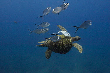 Steel Pompano (Trachinotus stilbe) group cleaning Pacific Green Sea Turtle (Chelonia mydas agassizi), Galapagos Islands, Ecuador  -  Pete Oxford