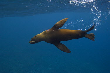 Galapagos Fur Seal (Arctocephalus galapagoensis) with bubble trail, Wolf Island, Galapagos Islands, Ecuador  -  Pete Oxford