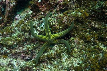 Tan Sea Star (Phataria unifascialis), Wolf Island, Galapagos Islands, Ecuador  -  Pete Oxford