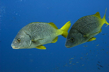 Yellow-tailed Grunt (Anisotremus interruptus), pair, Wolf Island, Galapagos Islands, Ecuador  -  Pete Oxford