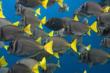 Yellow-tailed Surgeonfish (Prionurus laticlavius) school, Wolf Island, Galapagos Islands, Ecuador  -  Pete Oxford