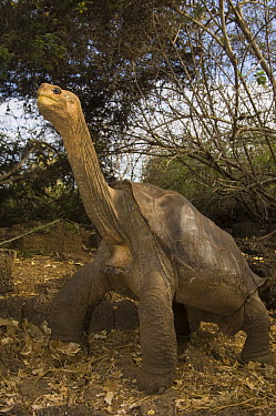 Pinta Island Galapagos Tortoise (Chelonoidis nigra abingdoni), Lonesome George, the last survivor of his race, Darwin Reserve Station, Santa Cruz Island, Galapagos Islands, Ecuador  -  Pete Oxford