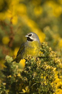 Canary-winged Finch (Melanodera melanodera), Carcass Island, Falkland Islands  -  Pete Oxford