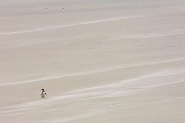 Magellanic Penguin (Spheniscus magellanicus) on beach, Pebble Island, Falkland Islands  -  Pete Oxford