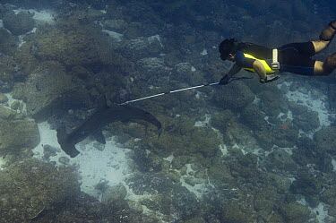 Scalloped Hammerhead Shark (Sphyrna lewini) tagged by researcher, Wolf Island, Galapagos Islands, Ecuador  -  Pete Oxford