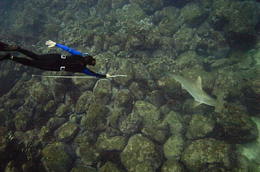 Scalloped Hammerhead Shark (Sphyrna lewini) tagged by researcher, Wolf Island, Galapagos Islands, Ecuador  -  Pete Oxford