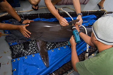 Silky Shark (Carcharhinus falciformis) being tagged by researchers, Wolf Island, Galapagos Islands, Ecuador  -  Pete Oxford