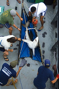 Silky Shark (Carcharhinus falciformis) caught on fishing line for tagging by researchers, Wolf Island, Galapagos Islands, Ecuador  -  Pete Oxford