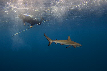 Galapagos Shark (Carcharhinus galapagensis) with researcher, Wolf Island, Galapagos Islands, Ecuador  -  Pete Oxford
