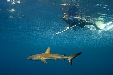 Galapagos Shark (Carcharhinus galapagensis) being tagged by researcher, Wolf Island, Galapagos Islands, Ecuador  -  Pete Oxford
