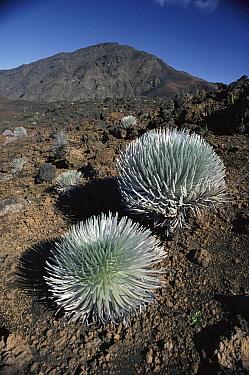 Haleakala Silversword (Argyroxiphium sandwicense) pair, Haleakala Crater, Maui, Hawaii  -  Kevin Schafer