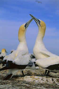 Australian Gannet (Morus serrator) pair courting, New Zealand  -  Kevin Schafer