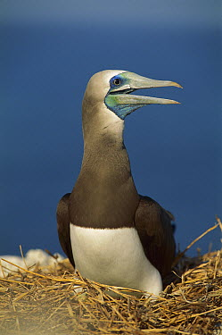 Brown Booby (Sula leucogaster) calling on nest, Cabo Blanco, Costa Rica  -  Kevin Schafer