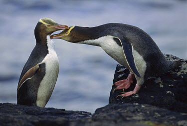 Yellow-eyed Penguin (Megadyptes antipodes) pair preening each other, Enderby Island, New Zealand  -  Kevin Schafer
