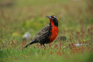 Long-tailed Meadowlark (Sturnella loyca) male, Saunders Island, Falkland Islands  -  Kevin Schafer