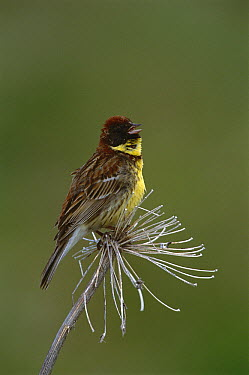 Yellow-breasted Bunting (Emberiza aureola) calling, Russia  -  Kevin Schafer
