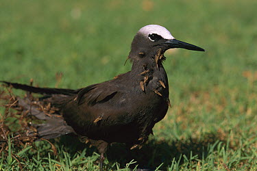Black Noddy (Anous minutus) with Grand Devil's-claws (Pisonia grandis) seeds stuck to feathers which aids in seed dispersal, Australia  -  Kevin Schafer