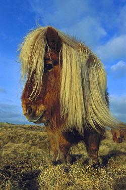 Domestic Horse (Equus caballus), Shetland Pony with long mane, Scotland  -  Kevin Schafer