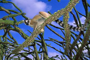 Ring-tailed Lemur (Lemur catta) in Octopus tree, Mantady National Park, Madagascar  -  Kevin Schafer