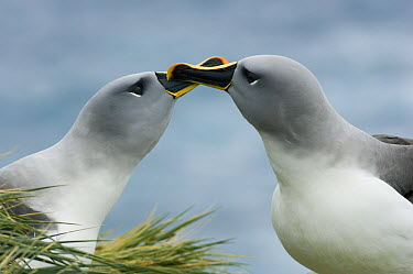 Grey-headed Albatross (Thalassarche chrysostoma) pair courting, Bird Island, South Georgia Island  -  Kevin Schafer