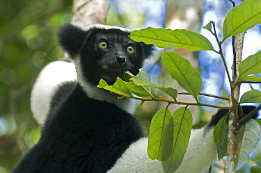 Indri (Indri indri) feeding on leaves, Perinet Reserve, Madagascar  -  Kevin Schafer