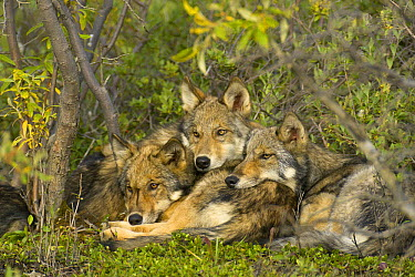Timber Wolf (Canis lupus) trio resting together, Denali National Park, Alaska  -  Yva Momatiuk & John Eastcott