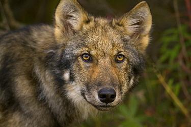 Timber Wolf (Canis lupus) juvenile, Denali National Park, Alaska  -  Yva Momatiuk & John Eastcott