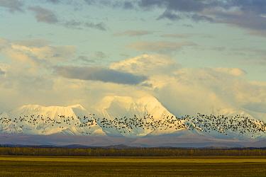 Sandhill Crane (Grus canadensis) flock flying over harvested golden barley fields and snowy Alaska Range, Delta Junction, Alaska  -  Yva Momatiuk & John Eastcott