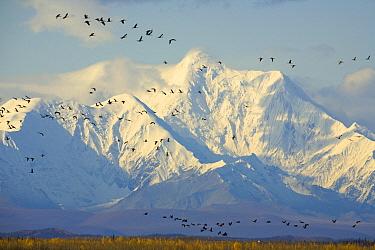 Sandhill Crane (Grus canadensis) flock flying in front of snowy Alaska Range, Delta Junction, Alaska  -  Yva Momatiuk & John Eastcott