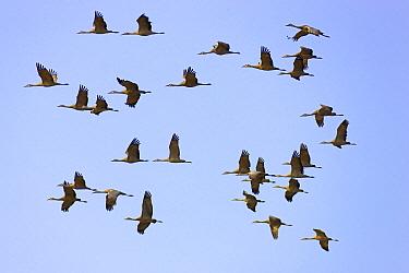 Sandhill Crane (Grus canadensis) flock flying during migration, Delta Junction, Alaska  -  Yva Momatiuk & John Eastcott