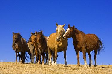 Mustang (Equus caballus) herd standing together, Pryor Mountain Wild Horse Range, Montana  -  Yva Momatiuk & John Eastcott