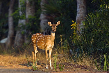 Axis Deer (Axis axis) female, Chennai, India  -  Konrad Wothe