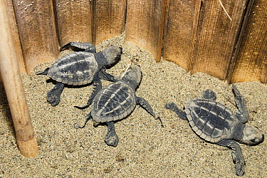 Olive Ridley Sea Turtle (Lepidochelys olivacea) hatchlings in protective hatchery, India  -  Konrad Wothe