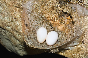 Edible-nest Swiftlet (Aerodramus fuciphagus) nest with eggs, North Andaman Islands, India  -  Konrad Wothe