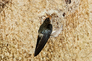 Edible-nest Swiftlet (Aerodramus fuciphagus) on nest, North Andaman Islands, India  -  Konrad Wothe