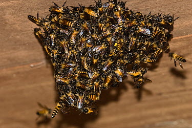 Bee (Apidae) group swarming on wooden ceiling, India  -  Konrad Wothe
