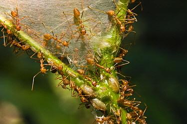 Weaver Ant (Oecophylla longinoda) group at nest in the rainforest, Havelock Island, India  -  Konrad Wothe