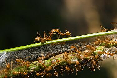 Weaver Ant (Oecophylla longinoda) nest in the rainforest, Havelock Island, India  -  Konrad Wothe